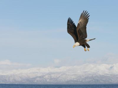 Bald Eagle in Diving Flight (Haliaeetus Leucocephalus), Alaska, USA