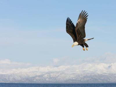 Bald Eagle in Flight with Upbeat Wingspread, Homer, Alaska, USA