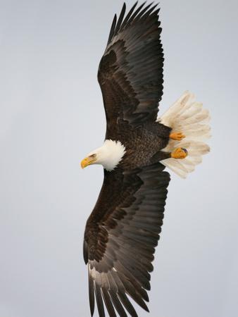 Bald Eagle in Flight with Wingspread, Homer, Alaska, USA