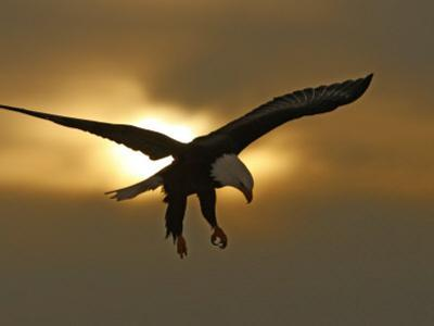 Bald Eagle Preparing to Land Silhouetted by Sun and Clouds, Homer, Alaska, USA