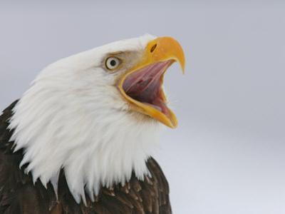 Bald Eagle Screaming, Homer, Alaska, USA