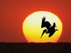 Brown Pelican Diving in Front of Setting Sun by Arthur Morris