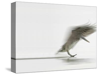 Brown Pelican Landing (Pelecanus Occidentalis), North America