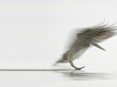 Brown Pelican Landing (Pelecanus Occidentalis), North America by Arthur Morris