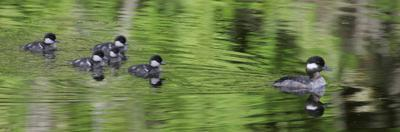 Bufflehead Duck, Hen with its Chicks Following, an Example of Imprinting, North America