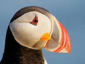 Close-Up of Atlantic Puffin by Arthur Morris