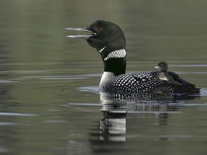 Common Loon Calling with Chick Riding on Back in Water, Kamloops, British Columbia, Canada by Arthur Morris