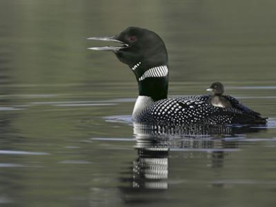 Common Loon Calling with Chick Riding on Back in Water, Kamloops, British Columbia, Canada