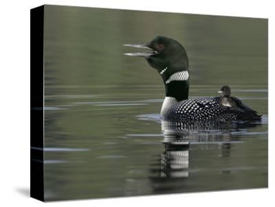 Common Loon (Gavia Immer)Calling with a Chick Riding on its Back Kamloops, British Columbia, Canada