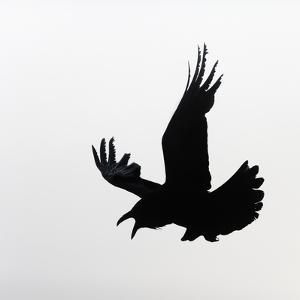 Common Raven Screaming by Arthur Morris