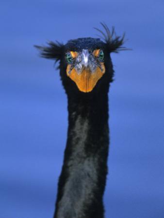 Double-Crested Cormorant, Florida Everglades National Park by Arthur Morris