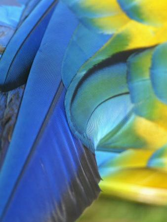 Feathers of a Blue and Gold Macaw, South America by Arthur Morris