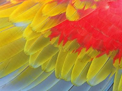 Feathers of a Scarlet Macaw by Arthur Morris