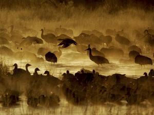 Flock of Snow Geese and Sandhill Cranes in Water and Ground Fog by Arthur Morris