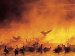 Geese in Sunrise Mist by Arthur Morris