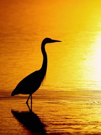 Great Blue Heron (Ardea Herodias), Merrit Island, Florida, USA by Arthur Morris