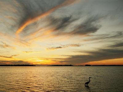 Great Blue Heron Standing in Water at Sunset (Ardea Herodias), St. Petersburg, Florida, USA