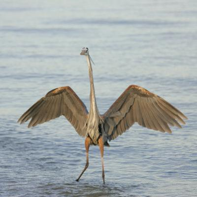 Great Blue Heron Wading in Water with its Wings Spread, Ardea Herodias, Sanibel, Florida, USA by Arthur Morris