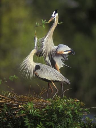 Great Blue Herons in Courtship Display at the Venice Rookery, South Venice, Florida, USA