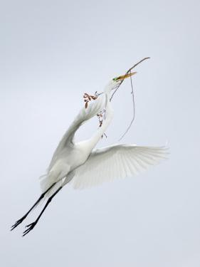 Great Egret Flying with Nesting Material, St. Augustine Alligator Farm, St. Augustine, Florida, USA by Arthur Morris