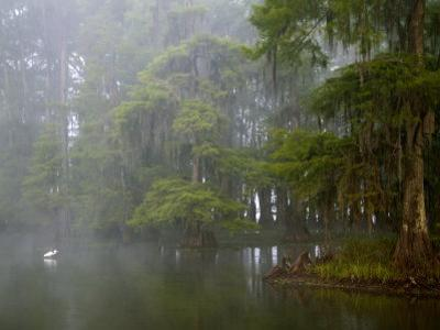 Great Egret Reflected in Foggy Cypress Swamp, Lake Martin, Louisiana, USA