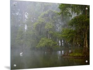 Great Egret Reflected in Foggy Cypress Swamp, Lake Martin, Louisiana, USA by Arthur Morris