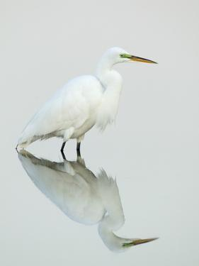 Great Egret Reflected by Arthur Morris