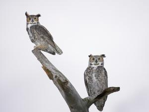 Great Horned Owls on Branch by Arthur Morris
