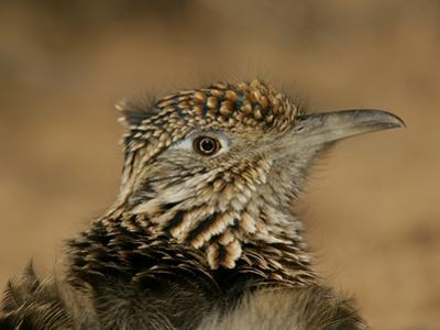 Head Portrait of Great Roadrunner, Bosque Del Apache National Wildlife Reserve, New Mexico, USA
