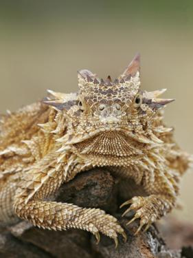 Horned Lizard or Toad Rests on Tree Stump, Cozad Ranch, Linn, Texas, USA by Arthur Morris