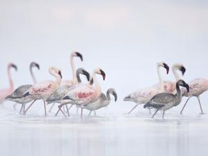 Lesser Flamingoes in Fog by Arthur Morris