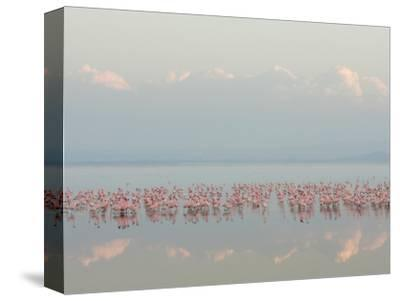 Lesser Flamingos, Phoenicopterus Minor, in Lake Nakuru, Kenya, Africa