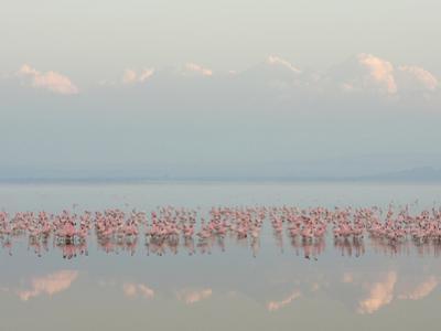 Lesser Flamingos, Phoenicopterus Minor, in Lake Nakuru, Kenya, Africa by Arthur Morris