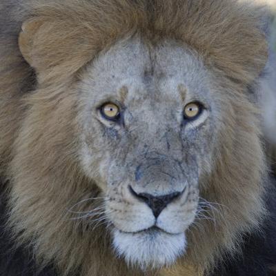 Male African Lion Face, Panthera Leo, Maasai Mara, Kenya, Africa by Arthur Morris
