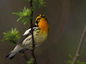 Male Blackburnian Warbler in Breeding Plumage, Pt. Pelee National Park, Ontario, Canada by Arthur Morris