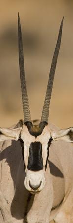 Oryx, Oryx Beisa, Samburu National Reserve, Kenya, Africa by Arthur Morris