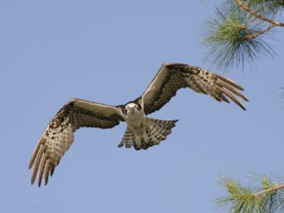 Osprey Flying (Pandion Haliaetus), Florida, USA by Arthur Morris
