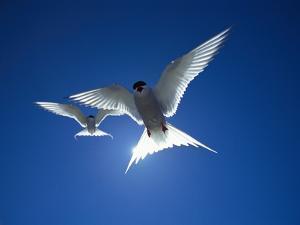Pair of Birds Soaring Against Sun by Arthur Morris
