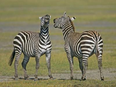 Pair of Zebras