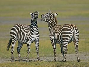 Pair of Zebras by Arthur Morris