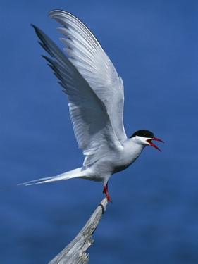 Perching Arctic Tern Spreading Wings in Manitoba by Arthur Morris