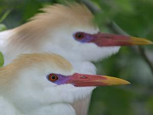 Portrait of Two Cattle Egrets in Breeding Plumage at St. Augustine Alligator Farm, St. Augustine by Arthur Morris