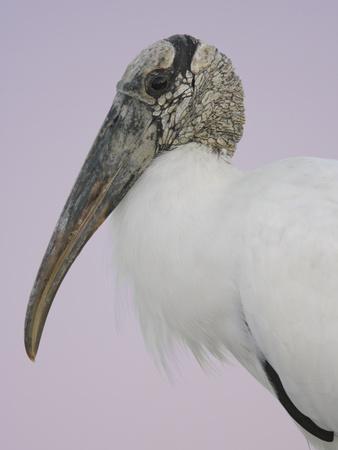 Pre-Dawn Close-up of Wood Stork, Fort De Soto Park, Florida, USA