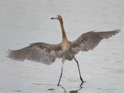Reddish Egret Dancing Behavior, Egretta Rufescens, Florida, USA by Arthur Morris