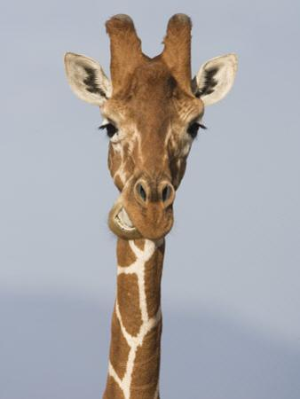 Reticulated Giraffe Chewing, Giraffa Camelopardalis, Kenya, Africa by Arthur Morris