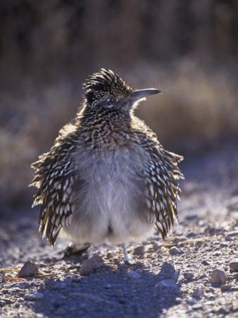 Roadrunner Sunbathing, Geococcyx Californianus, Western North America