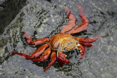Sally Lightfoot Crab by Arthur Morris