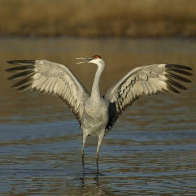 Sandhill Crane Courtship Display and Vocalization, Grus Canadensis, North America by Arthur Morris