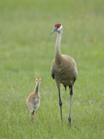 Sandhill Crane, Grus Canadensis, Parent with Chick, North America by Arthur Morris