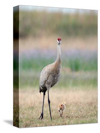 Sandhill Crane with Chick (Grus Canadensis), Florida, USA